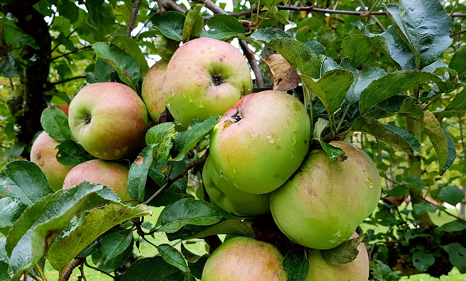 Wet apples on an apple tree