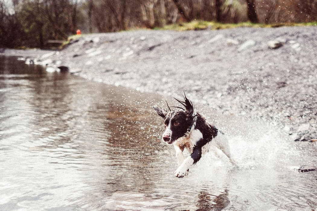 A dog running through a river.