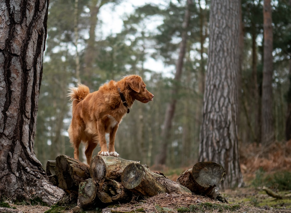 A dog standing on a log in a woodland